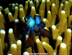 Mandarin Fish. by Gitte Bragenholt Fisker 